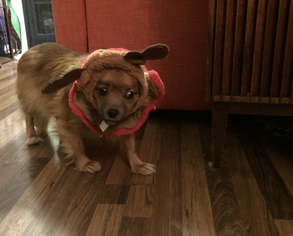 Dog in reindeer ears